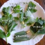 香り仕事ガーデンからの フレッシュハーブ7種類