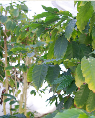 ▲お店の裏手には温室があり、コーヒーの木を栽培している。実際に収穫も可能で、コーヒーがどうやって出来るのかを教えるには絶好の教材となる。(枝に実っているのがコーヒーの実)